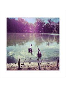 casal-de-cisnes