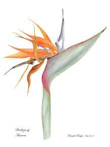 illustracao-botanica-strelitzia