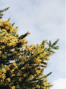 yellow-tree-2