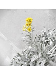 flor-de-montserrate