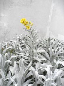 flor-de-montserrate-2