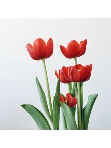 quadro-tulilipas