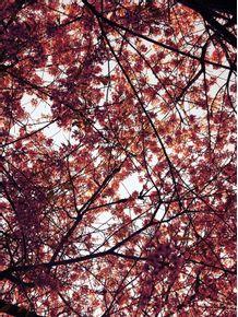 quadro-cerejeira-parque-do-ibirapuera