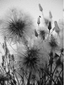quadro-dand-dan-dandelions