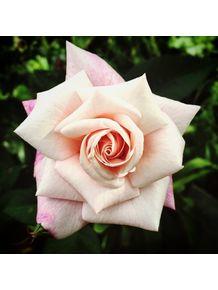 quadro-rosaverde