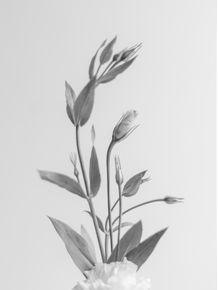 quadro-lisianthus-02