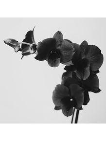 quadro-black-orchid