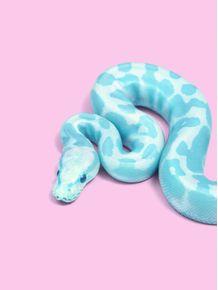 quadro-blue-snake