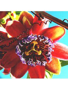 quadro-flor-de-maracuja-doce-ii