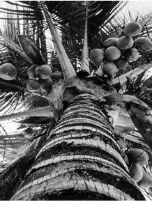 quadro-coqueiro-em-preto-e-branco