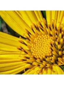 quadro-flor-do-campo-amarela