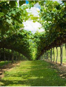 quadro-plantacao-de-uvas