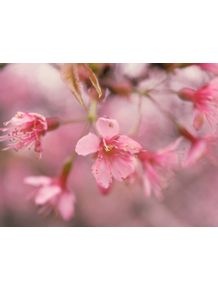 quadro-flor-de-cerejeira