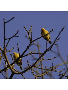 quadro-passarinhos-amarelos-2