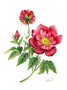 GALLIC-ROSE